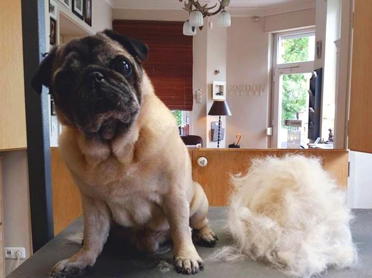 Der Mops von Franziska Knabenreich nach der Fellpflege