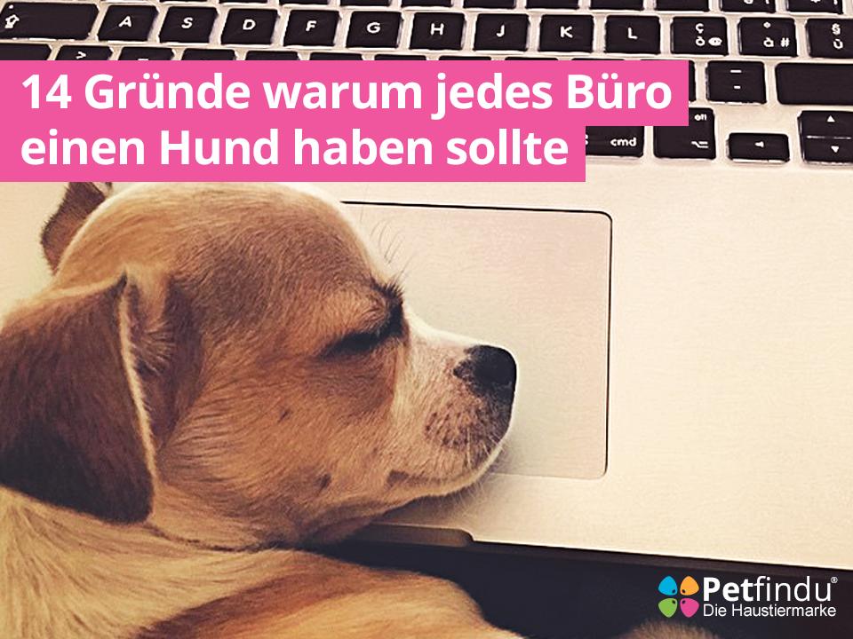 Hunde Welpe schläft auf Mac Book im Büro